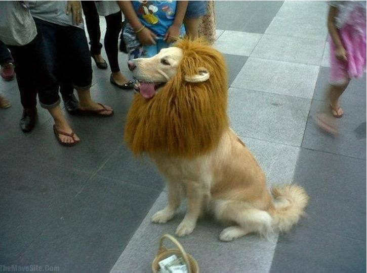 Chow Chow Lion Cut Did that dog look anything